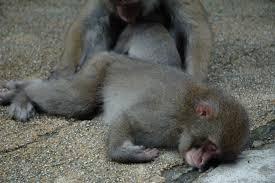 Monkey sleep